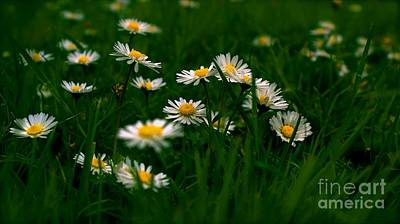 Photograph - Daisies by Louise Fahy