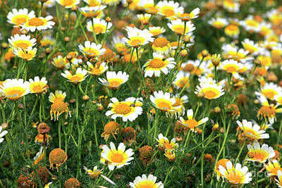 Photograph - Daisies On The Island Of Delos by John Rizzuto