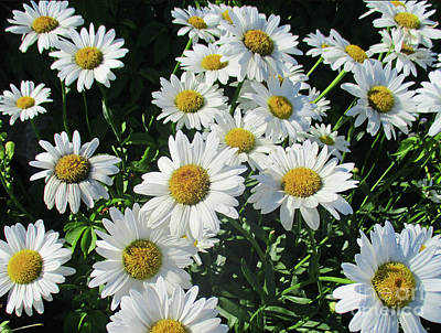 Photograph - Daisies by Randall Weidner