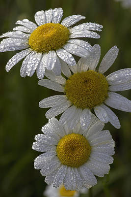 Photograph - Daisies by Ron Grafe