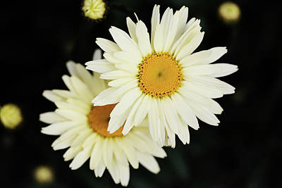 Photograph - Daisies by Sue Collura