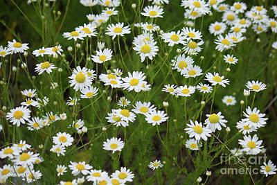 Photograph - Daisies White And Yellow by Donna L Munro
