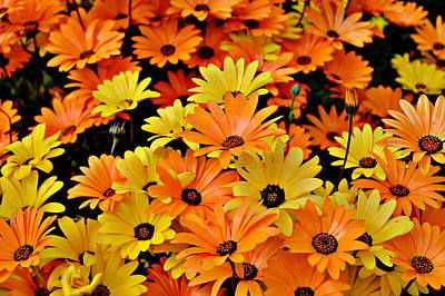 Photograph - Daisies - Yellow And Orange by Glenn McCarthy Art and Photography