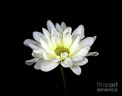 Photograph - Daisy 18-22 by Ray Shrewsberry