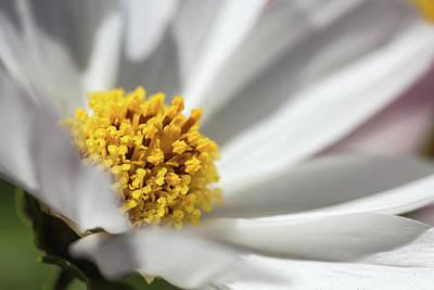 Photograph - Daisy 2 by Jonathan Nguyen