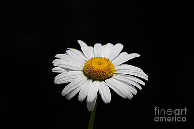 Photograph - Daisy 20130528_175 by Tina Hopkins