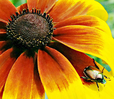 Photograph - Daisy And Beetle by Diana Angstadt