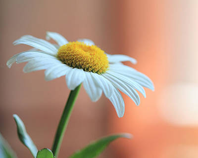 Photograph - Daisy by Angela Murdock