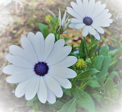 Daisy Art Print by Ann Johndro-Collins