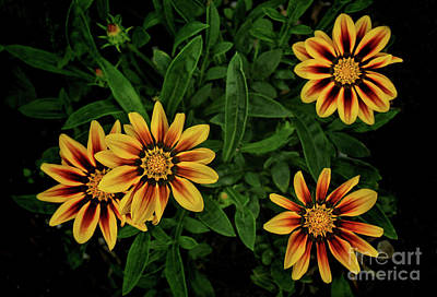 Photograph - Daisy Arrangement by Shari Jardina