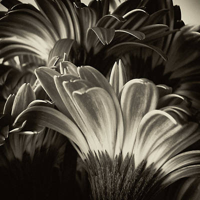 Gerbera Daisy Digital Art - Daisy Bouquet In Sepia by Tony Grider
