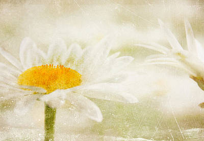 Photograph - Daisy by Catherine Alfidi