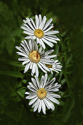 Art Print featuring the photograph Daisy Chain by Marie Leslie