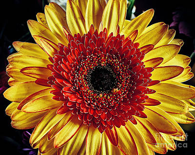 Photograph - Daisy by Charles Muhle