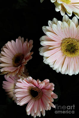 Photograph - Daisy Cluster by William Norton
