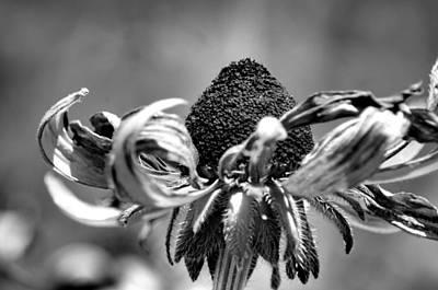 Photograph - Daisy Curl by Maria Urso