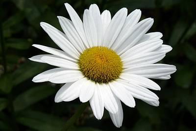 Photograph - Daisy Daisy by Tim Mattox
