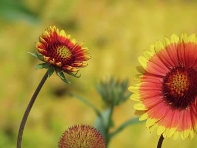 Photograph - Daisy Dance - Gaillardia Flowers by MTBobbins Photography