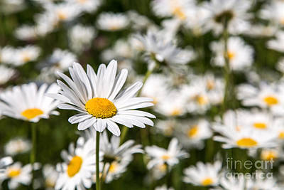 Photograph - Daisy Day by Karin Pinkham