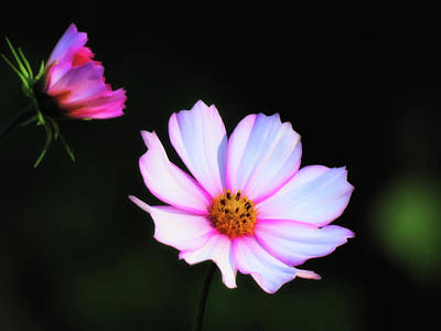 Photograph - Daisy Delight - Cosmos by MTBobbins Photography