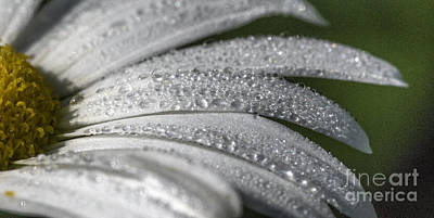 Photograph - Daisy  Dewdrops by Darleen Stry
