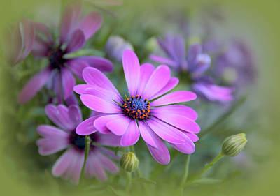 Daisy Bud Photograph - Daisy Dream by Jessica Jenney