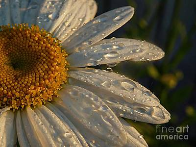 Photograph - Daisy Drops by Marcia Lee Jones