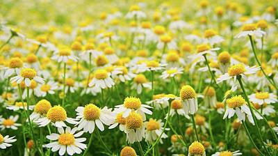 Photograph - Daisy Field by Bryan Smith