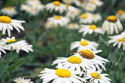 Photograph - Daisy Field by Laurie Perry
