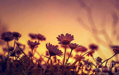Photograph - Daisy Field On Sunset by Anna Om