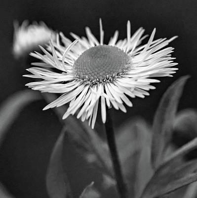 Photograph - Daisy Fleabane Wildflower Bw by Steve Harrington