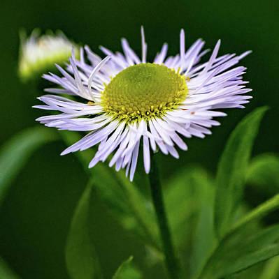 Photograph - Daisy Fleabane Wildflower by Steve Harrington