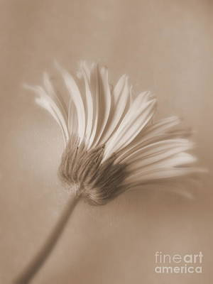 Photograph - Daisy Flower - Innocence by Ella Kaye Dickey