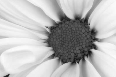 Floral Photograph - Daisy Flower Macro by Tom Mc Nemar