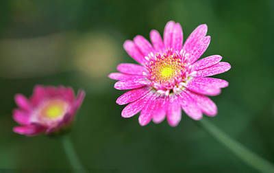 Photograph - Daisy Flower by Pradeep Raja Prints
