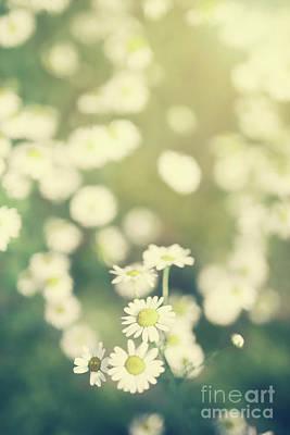Photograph - Daisy Flowers Growing On A Green Field. by Michal Bednarek