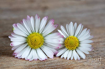 Voluptuous Photograph - Daisy Flowers by Nailia Schwarz