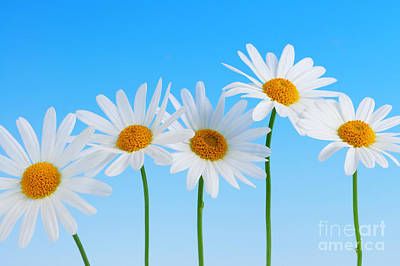 Florals Royalty-Free and Rights-Managed Images - Daisy flowers on blue by Elena Elisseeva