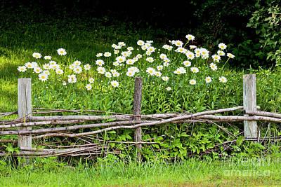 Photograph - Daisy Garden by Alan L Graham