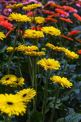 Gerbera Photograph - Daisy Garden by Garry Gay