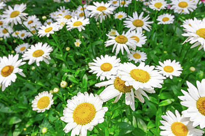 Photograph - Daisy Garden by SR Green