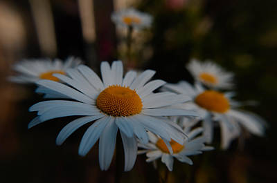 Photograph - Daisy Gathering by Adria Trail