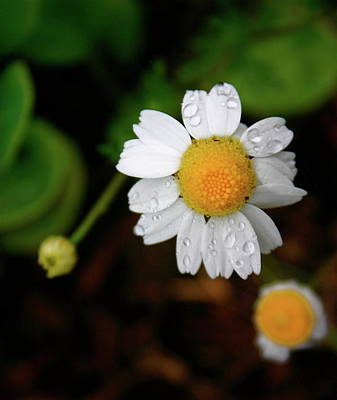 Photograph - Daisy by Gini Moore