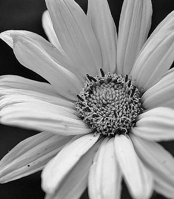 Amature Photograph - Daisy In Black And White by Bruce Bley
