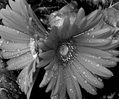 Photograph - Daisy In The Rain by James C Thomas