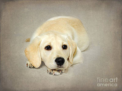 Golden Puppy Photograph - Daisy by Jacky Parker