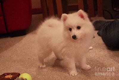 Photograph - Daisy - Japanese Spitz by David Grant