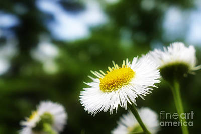 Photograph - Daisy by Jorge Perez - BlueBeardImagery