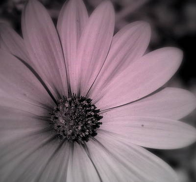 Art Print featuring the photograph Daisy by Laura DAddona