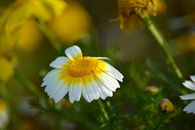 Photograph - Daisy by Lynda Anne Williams